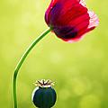 Sunlit Poppy by Natalie Kinnear