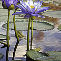 Sunlit Purple Lilies  by Sharon Foster