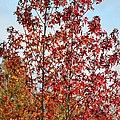 Sunlit Red In November 2012 by Maria Urso