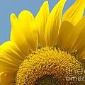 Sunlit Sunflower by Ann Horn