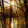Sunlit Trees  by Laurel Butkins