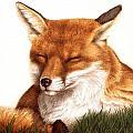 Sunnin' Red Fox by Pat Erickson
