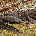 Sunning Alligator. Wetlands Park. by Chris  Kusik