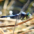 Sunning Blue Dragonfly Square by Carol Groenen