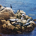 Sunning Seals by Pharris Art