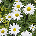 Sunny Days And Daisies by Brenda Kean