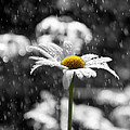 Sunny Disposition Despite Showers by Lisa Knechtel