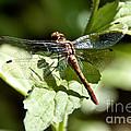 Sunny Dragonfly by Cheryl Baxter