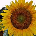 Sunny Face by Jean Hutchison