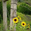 Sunny Fence by Mary Willrodt