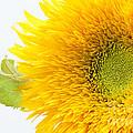 Sunny Flower by Anne Gilbert