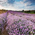 Sunny Lavender by Evgeni Dinev