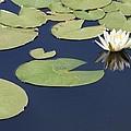 Sunny Lily Pond by Carol Groenen