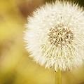 Sunny On My Dandelion by Alice Gipson