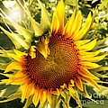 Sunny Sunflower by Chris Scroggins