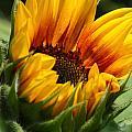 Sunny Sunflower by Jane Luxton