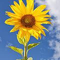 Sunny Sunflower by Joshua Clark