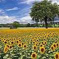 Sunny Sunflowers by Debra and Dave Vanderlaan