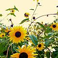 Sunny Sunflowers by Mike Morrison