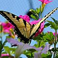 Sunny Tiger Swallowtail  by Susan Herber