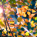 Sunny Yellow Leaves by Sonja Quintero