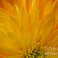Sunrise Dahlia Abstract by Tara  Shalton