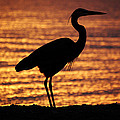 Sunrise Heron by Leticia Latocki