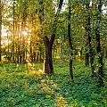 Sunrise In The Forest by Alain De Maximy
