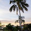 Sunrise Palms by Margaret Pitcher