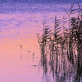 Sunrise Reeds by Pete Federico