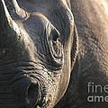Sunrise Rhino by Alison Kennedy-Benson