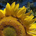 Sunrise Sunflower by Jerry McElroy