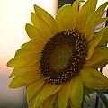 Sunrise Sunflower by Maria Urso