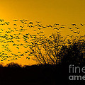 Sunset And Sandhill Cranes by Barbara Bowen