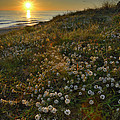 Sunset At The Beach  White Flowers On The Sand by Guido Montanes Castillo