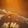 Sunset Daisy by Vishwanath Bhat