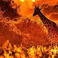 Sunset Giraffe by Mareko Marciniak
