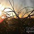 Sunset Grass 2 by Nathanael Smith