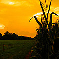 Sunset In The Cornfield by Nick Kirby