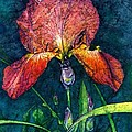 Sunset Iris by Barbara Jewell
