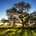 Sunset Oak by Scott Norris