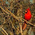 Sunset On A Norhern Cardinal by Edward Peterson