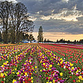 Sunset Over Tulip Flower Farm In Springtime by Jit Lim
