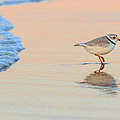 Sunset Piping Plover by Bill Wakeley