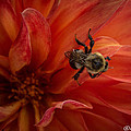 Sunset Red Dahlia by Joan Wallner