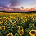 Sunset Sunflowers by Debra and Dave Vanderlaan
