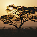 Sunset Through A Silhouetted Acacia by Tim Laman