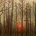 Sunset Thru The Pine Barrens by Tom Gari Gallery-Three-Photography