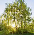 Sunset Willow by Mircea Costina Photography