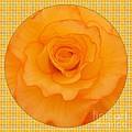 Sunshine Begonia by Joan-Violet Stretch